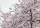 兼六園の桜お花見2018の見頃の時期や開花状況!