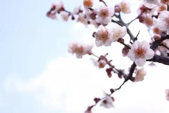 北野天満宮の梅2019の見頃の時期や開花状況と梅花祭!