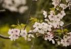 熊谷桜堤の桜(桜祭り)2018の開花状況と見頃時期!