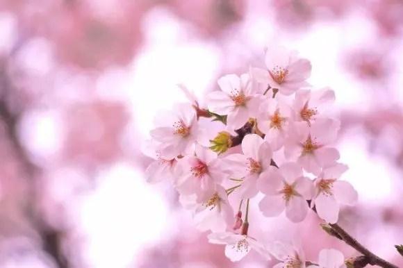 松江城山公園の桜(桜祭り)2018の開花状況と見頃時期!