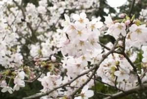 松川公園(富山)2018の桜の開花状況と見頃時期!