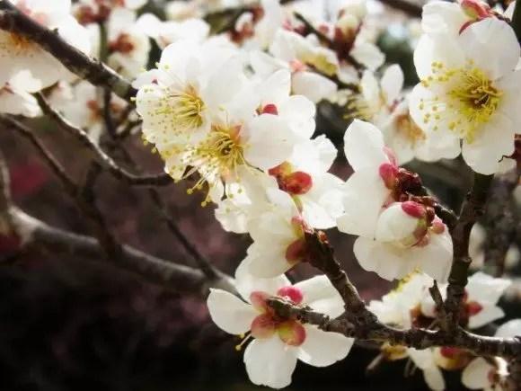 箕郷梅林の梅まつり2017の見頃の時期や開花状況は?