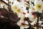 箕郷梅林の梅まつり2018の見頃の時期や開花状況は?