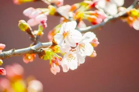 県立三ツ池公園の桜2019の見ごろ時期と開花状況!