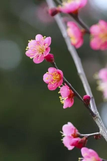大倉山公園梅林の梅の見頃や開花状況2016と観梅会はいつ?