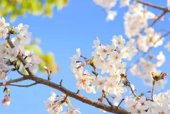 大阪城公園の桜2017の開花予想や花見の見頃時期!