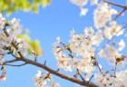 大阪城公園の桜2018の開花予想や花見の見頃時期!