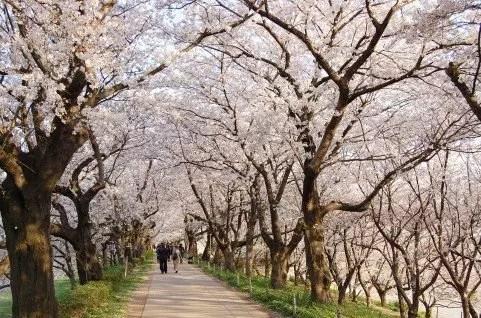 埼玉の桜・花見の名所や穴場おすすめ10選と開花情報2019!