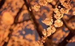 埼玉の夜桜ライトアップの名所や穴場スポット10選!