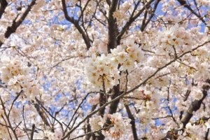 千秋公園の桜(桜祭り)2017の開花状況と見頃時期!