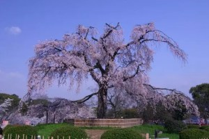 しだれ桜2018の名所おススメ8選と開花時期や見頃時期!