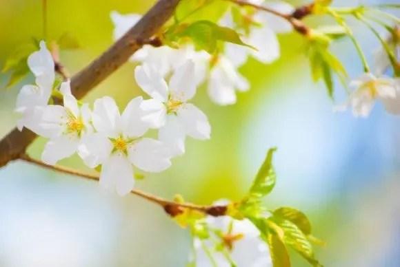 新境川堤の桜(百十朗桜)2017の開花状況と見頃時期!