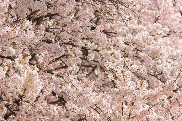 白石川堤一目千本桜2017の開花状況や見頃と駐車場!