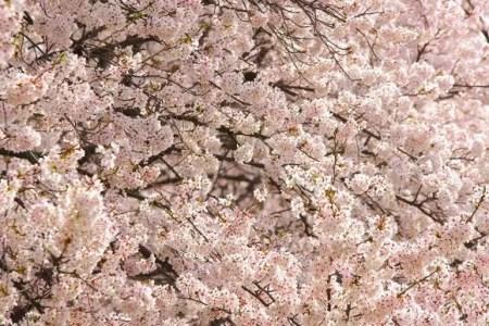 白石川堤一目千本桜2019の開花状況や見頃と駐車場!