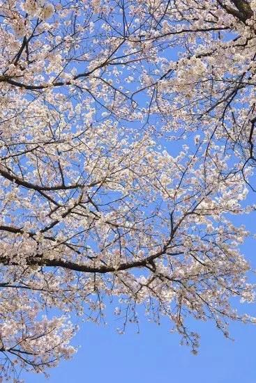 高田公園の桜(観桜会桜祭り)2016の開花状況と見頃時期!