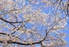 高田公園の桜(観桜会桜祭り)2018の開花状況と見頃時期!