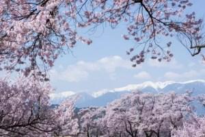 高遠桜2017の見頃や開花予想と駐車場やアクセス方法!