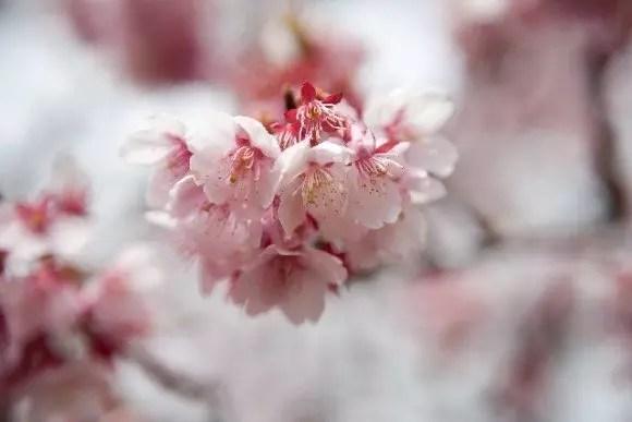 三春滝桜2017の開花状況や見頃と駐車場やアクセス方法!