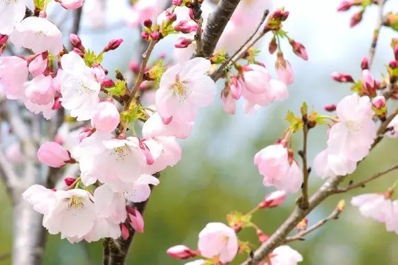 鶴ヶ城公園の桜(桜祭り)2017の開花状況と見頃時期!