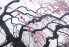 結城神社梅まつり2018の見頃の時期や開花状況は?