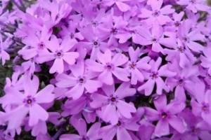 茶臼山の芝桜2017の開花情報や見頃と駐車場は?