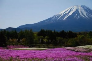 富士芝桜まつり2018の見頃や開花状況と駐車場は?