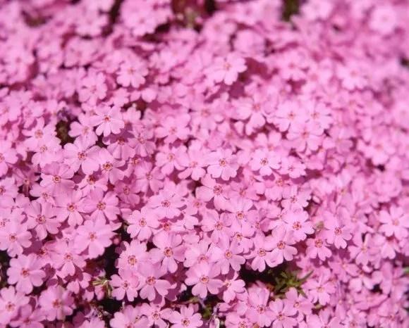 市貝町の芝桜2016の開花状況や見頃の時期!