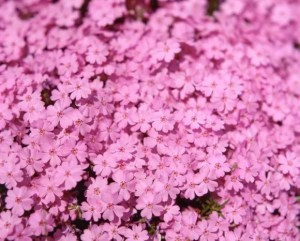 市貝町の芝桜2017の開花状況や見頃の時期!