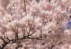 円山公園の桜・花見2018開花情報と夜桜ライトアップ!