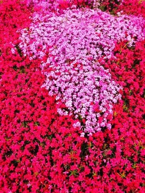 みさと芝桜公園芝桜まつり2017と開花情報や見頃!アクセスは?