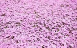 滝上町の芝桜まつり2018の開花状況や見頃の時期!