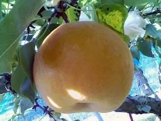 山梨の梨狩りの時期とおすすめ人気スポット!
