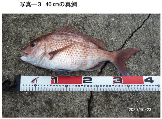 写真ー3 釣った40㎝の真鯛(2020年10月23日)