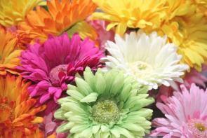母の日人気の花の種類ガーベラ