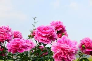 母の日人気の花の種類芍薬