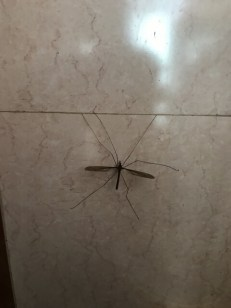 大きい蚊 名前