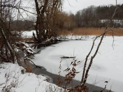 Phragmites near lower beaver dam