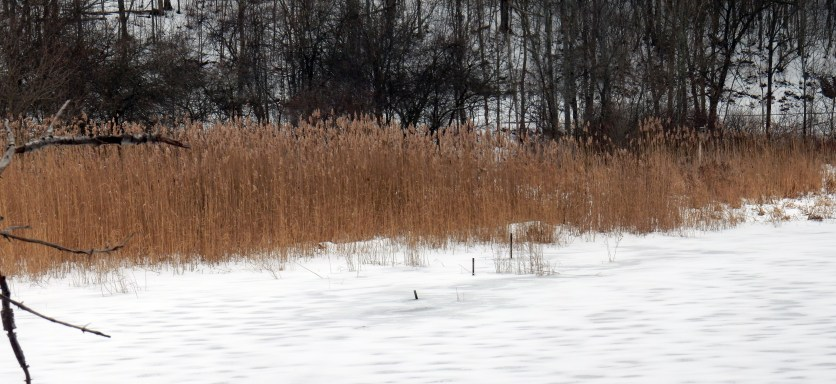 Phragmites australis infestation on the west side of the lower beaver dam