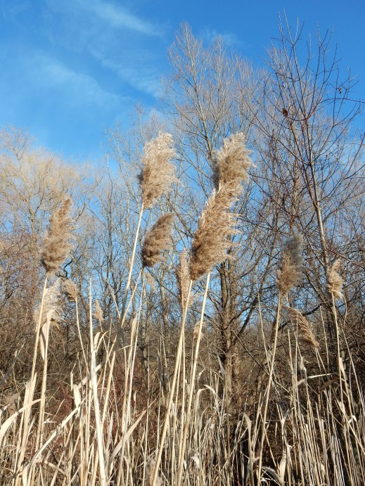 Phragmites near south end of transfer station. December 26, 2014.