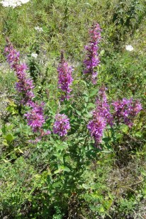 Purple Loosestrife, Aug. 19, 2012