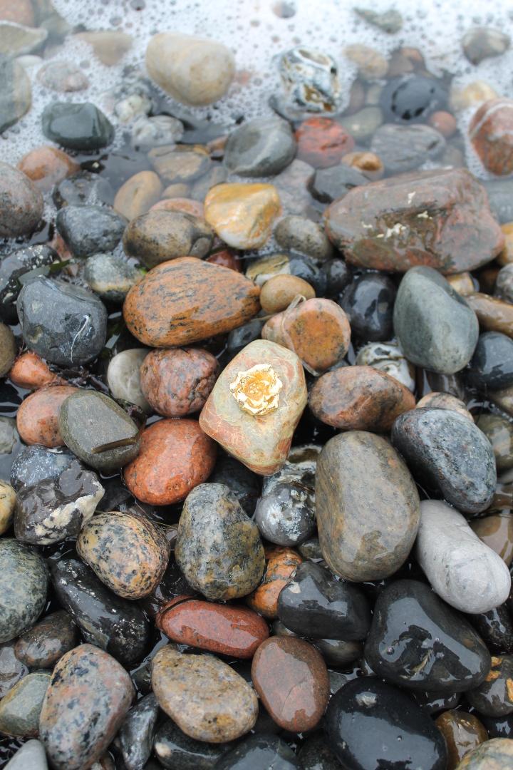 Skagenrose i guld på strandsten
