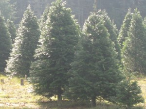 Christmas Trees scenic TT a