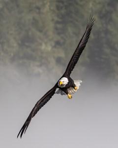 Skagit River Bald Eagles Flying