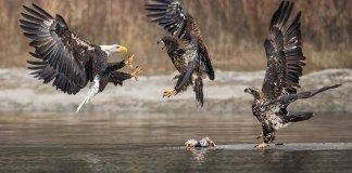 Skagit River Bald Eagles Three Eagles