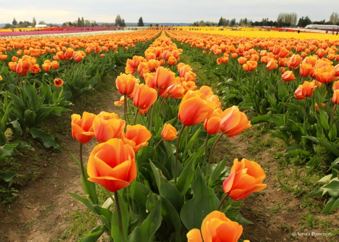 Skagit County Tulip Town Orange
