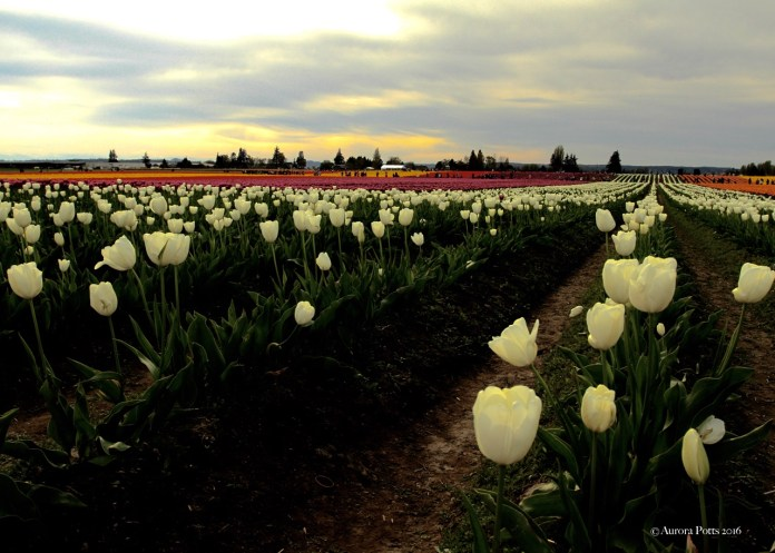 Skagit County Tulip Town White