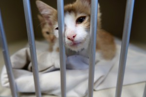 Humane Society of Skagit Valley Kitten