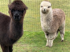 Alpaca Farm Mount Vernon Kiki-and-Finley