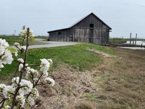 padilla bay shore trail skagit walks-barn-on-little-indian-slough