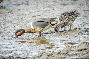 padilla bay shore trail skagit walks duck